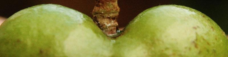Ausschnit einer Teeabum-Frucht