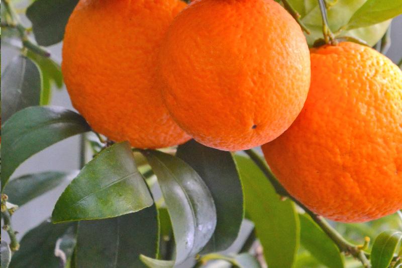 Orangen am Ast