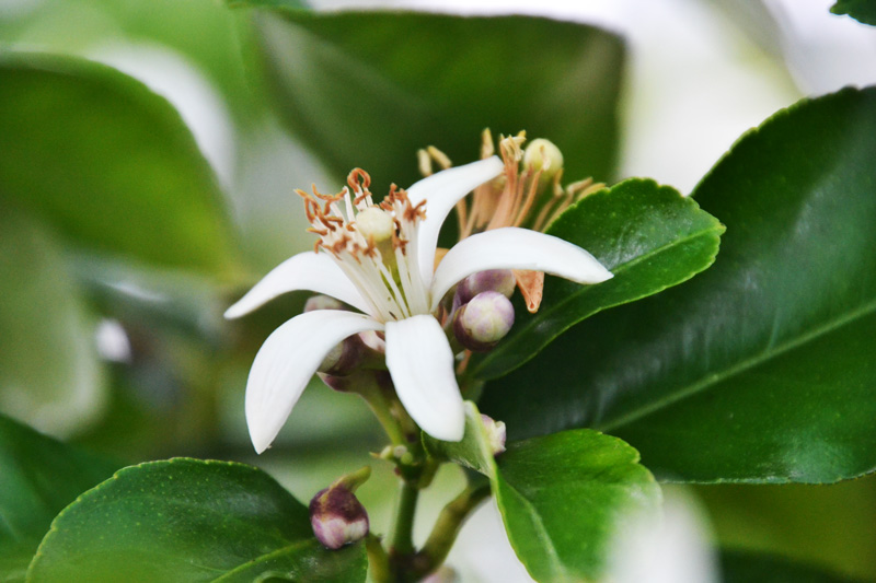 Zitrusbaum-Blüte