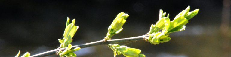 Zweiglein mit frisch sprießenden Blättern