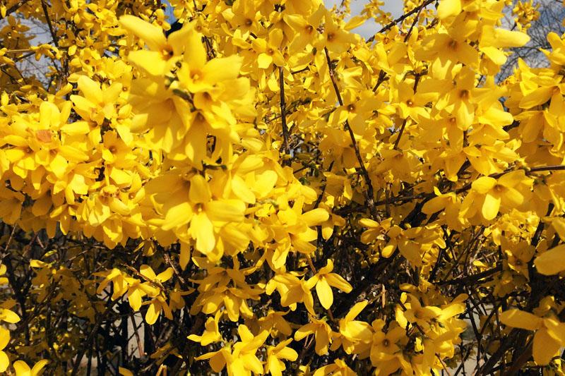 Von Sonne angestrahlter gelb blühender Forsythien-Busch