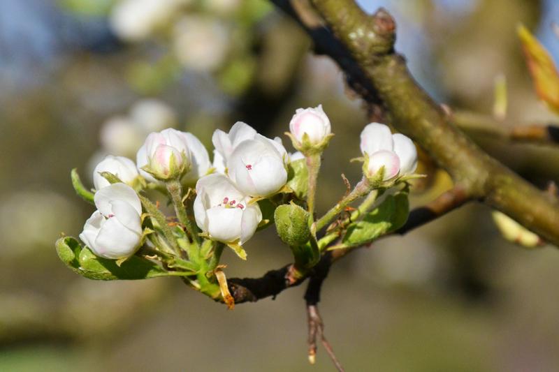 Apfelbaum-Blüten