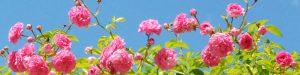 Rosa Rosen vor blauem Himmel