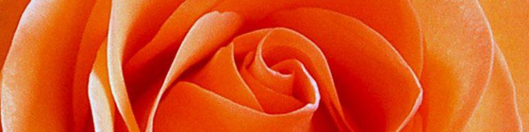 Großaufnahme Rose