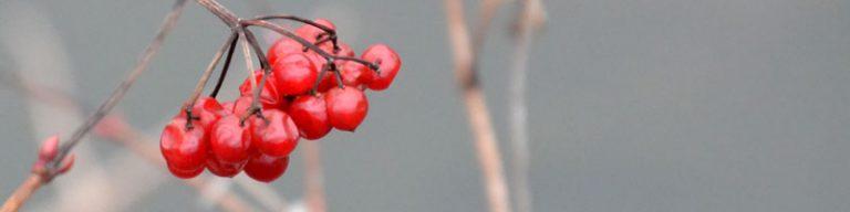 leuchtend rote Vogelbeeren mit herbstlich trübem Hintergrund