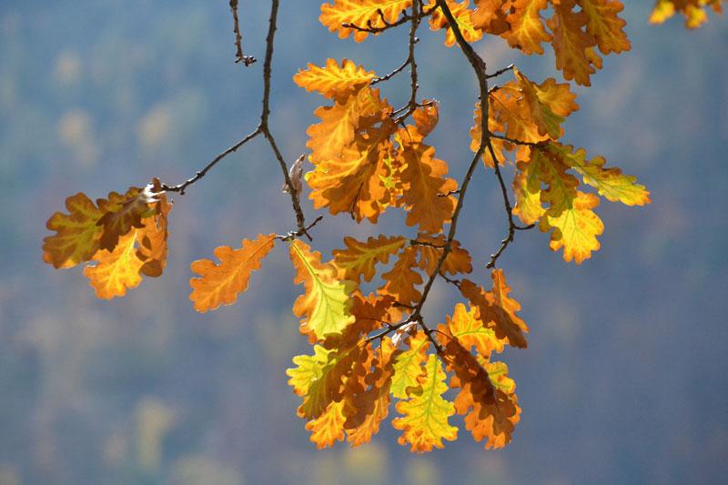 gelb leuchtende Eichenblätter