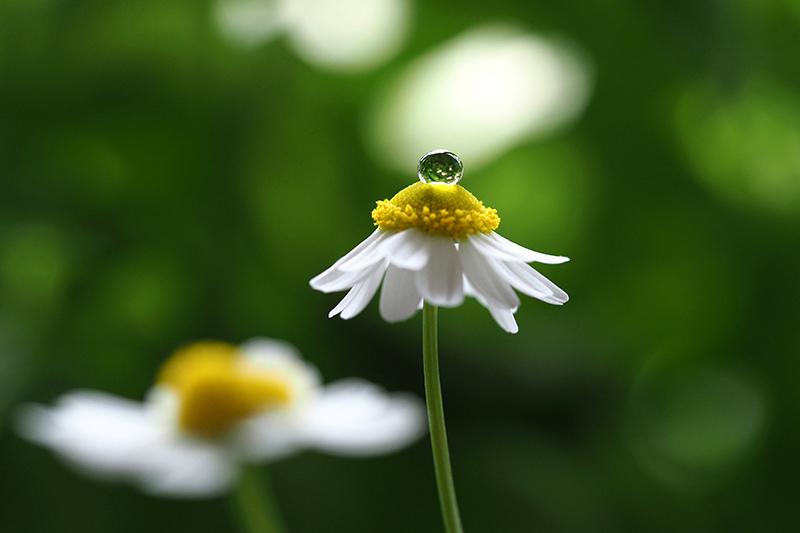 Kamillenblüte vor grünem Hintergrund, Wassertropfen  in der Mitte der Blüte