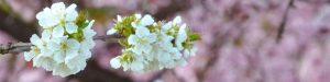 Weiße Obstbaumblüten vor rosarot blühenden Bäuen