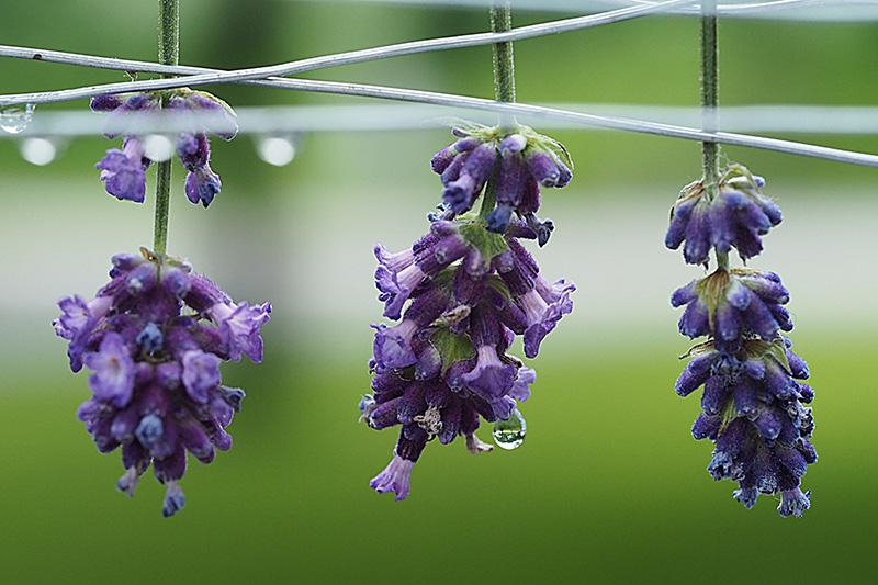 Drei Lavendelblüten kopfüber