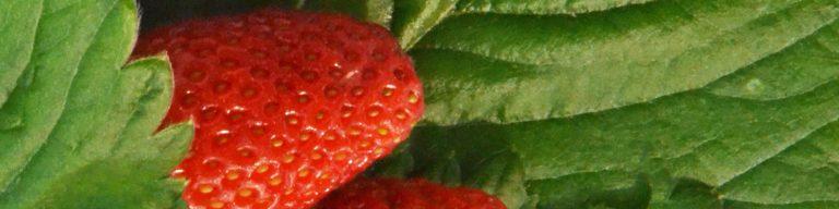 Erdbeere und Werdbeerblätter