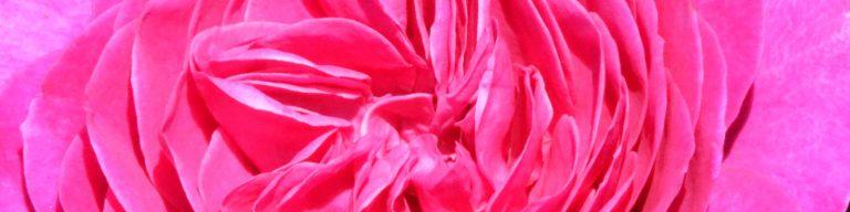 Ausschnitt Rose, pink