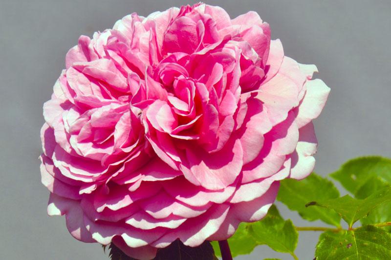 üppige rosa Rosenblüte