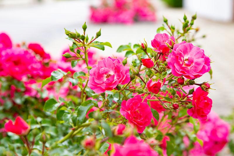pinker blühender Rosenstrauch